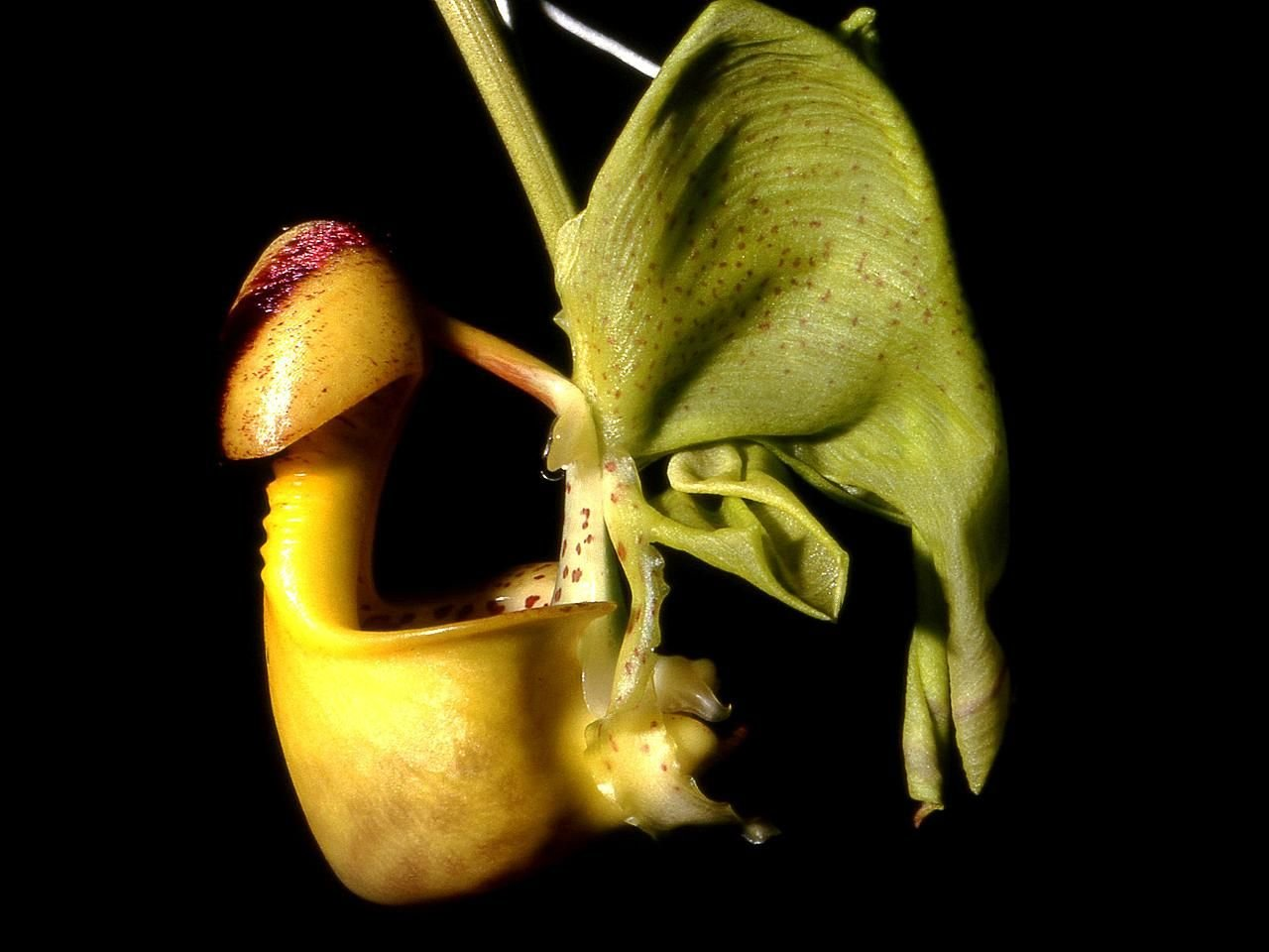 - Coryanthes macrantha