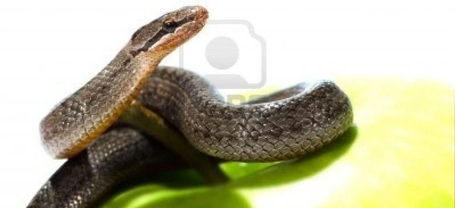 14870154-a-snake-coiled-on-an-apple-against-a-white-background.jpg