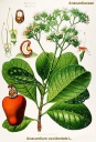 Anacardium_occidentale.jpg