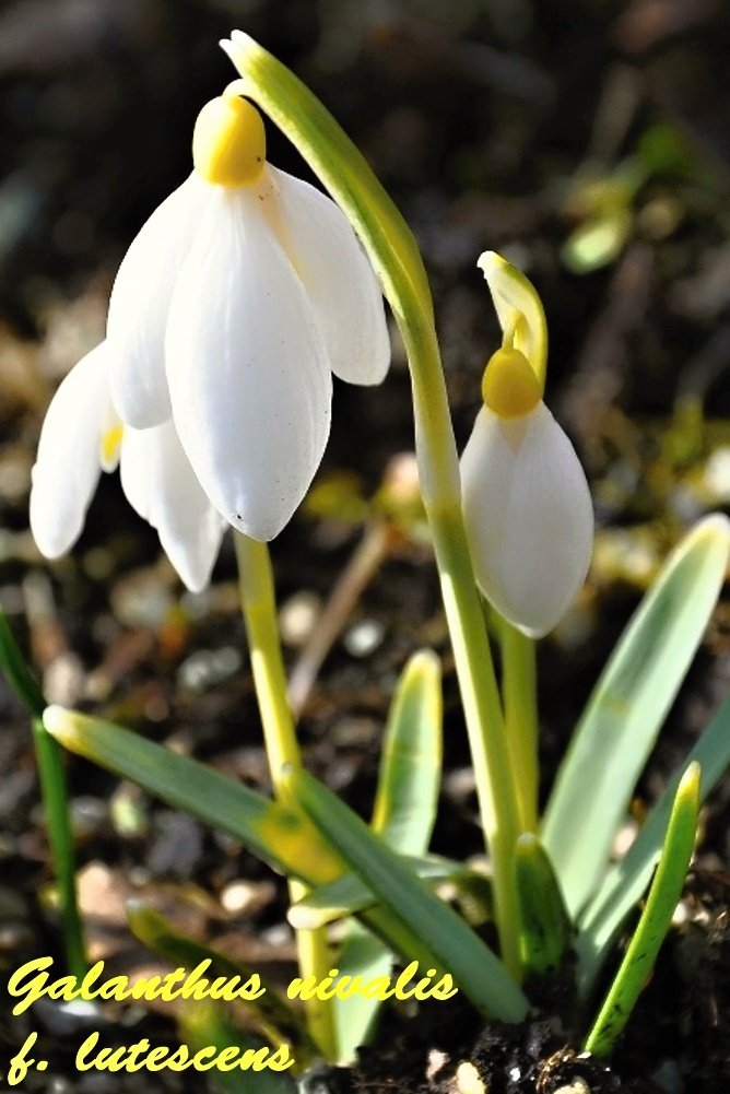 Galanthus nivalis lutescens